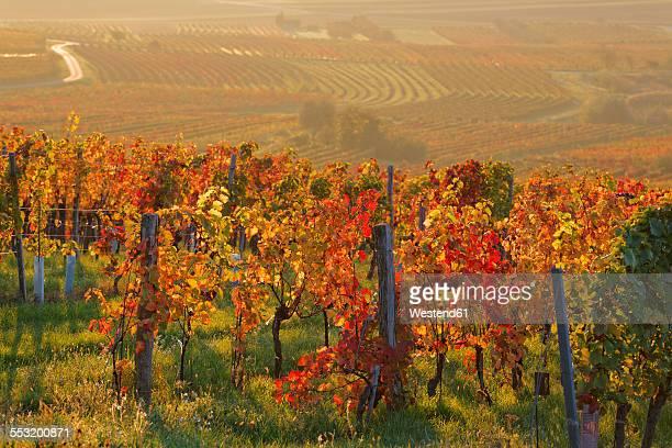 Austria, Burgenland, Oberpullendorf District, Blaufraenkischland, Neckenmarkt, vineyards in autumn