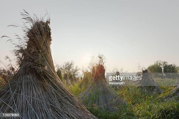 Austria, Burgenland, View of reed bundle at lake neusiedl