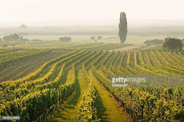 Austria, Burgenland, vineyards at Lake Neusiedl between Oggau and Rust