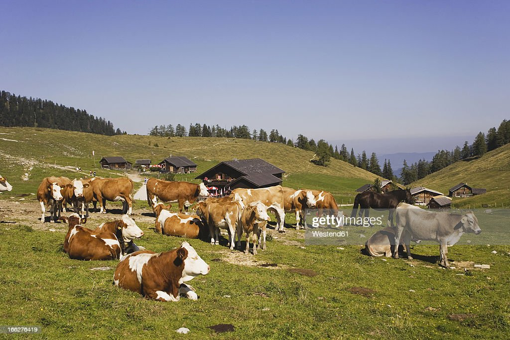 Austria, Cattle herd on mountain pasture : Stock Photo