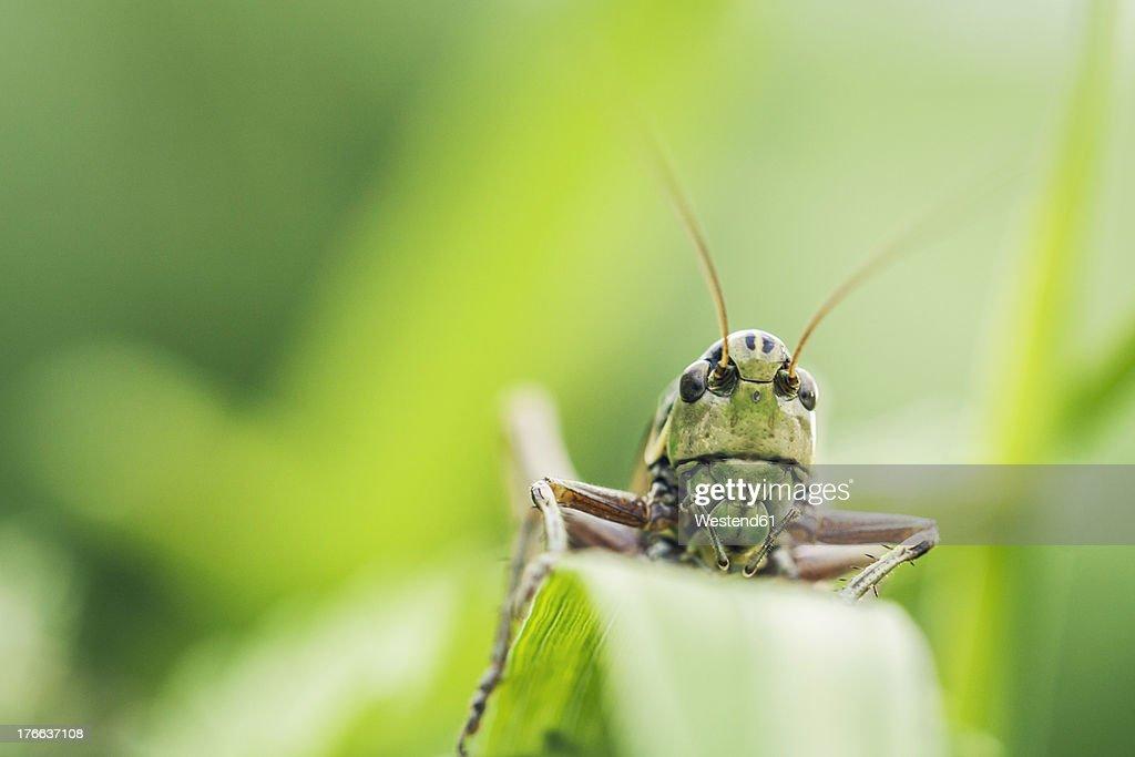 Austria, Close up of grasshopper