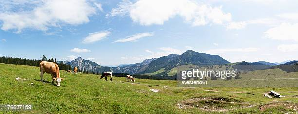 Austria, Cow grazing on alp pasture at Postalm