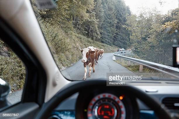 Austria, East Tyrol, Hohe Tauern National Park, cows on mountain road