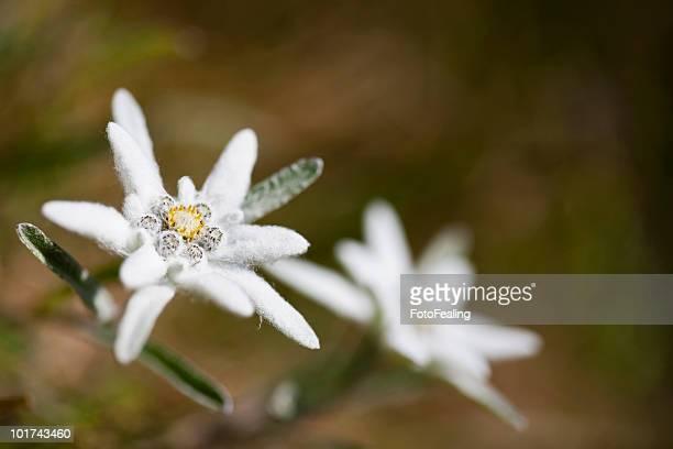 Austria, Edelweiss flowers (Leontopodium alpinum)