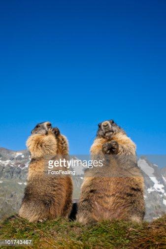 Austria, Grossglockner, Marmots (Marmota marmota)