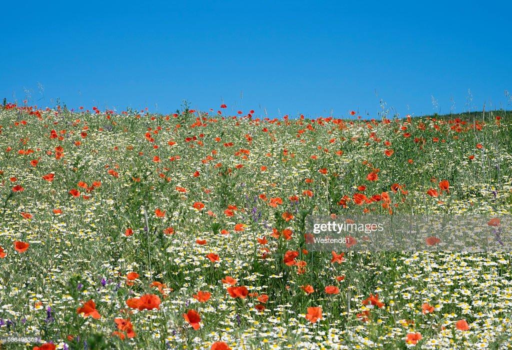Austria, Lower Austria, Weinviertel, Falkenstein, flower meadow with poppies and marguerites
