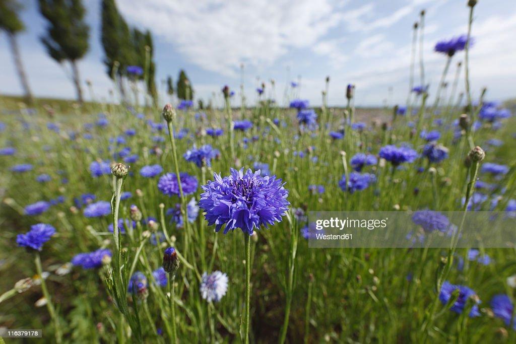 Austria, Lower Austria, Weinviertel, View of cornflower field