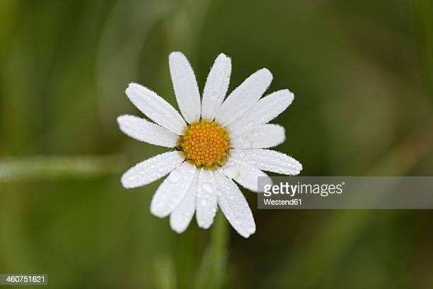 Austria, Meadow Daisy, close up
