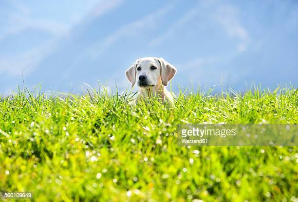 Austria, Mondsee, Labrador Retriever sitting on Alpine meadow