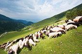 Austria, Salzburg County, Flock of sheep on mountain