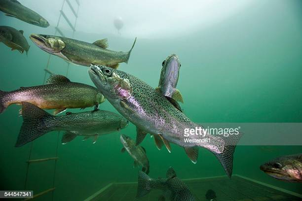 Austria, Styria, Grueblsee, brook trouts and rainbow trouts
