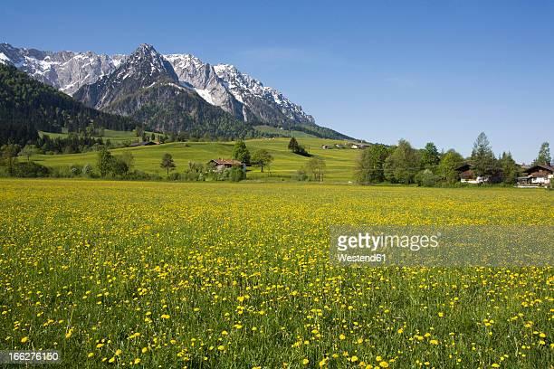 Austria, Tyrol, Kaisergebirge, Dandelion meadow in spring