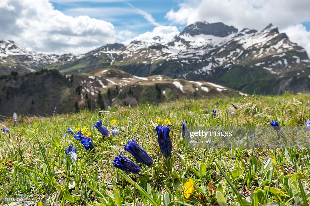 Austria, Vorarlberg, Bregenz Forest, trumpet gentian on meadow, Mountain Karhorn in the background