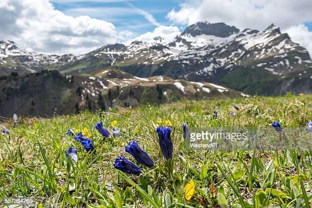 Austria, Vorarlberg, Bregenz Forest, trumpet gentian on meadow, Mountain Karhorn in the background