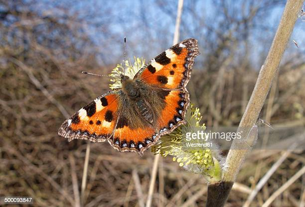 Austria, Vorarlberg, Small tortoiseshell butterfly, Aglais urticae, on pussy willow