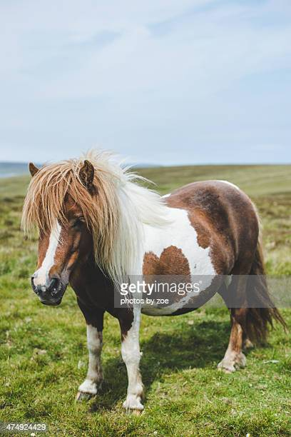 Authentic Shetland pony