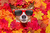 jack russell dog , lying on the ground full of fall autumn leaves, looking at you  and lying on the back torso, wearing funny sunglasses