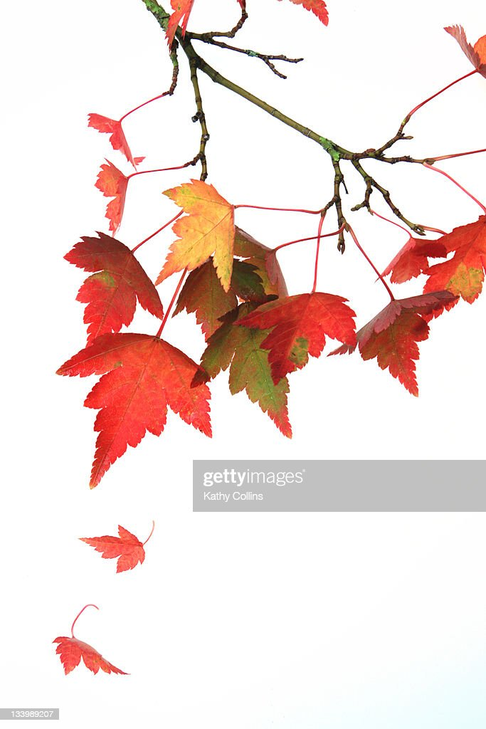 Autumn acer leaves : Stock Photo