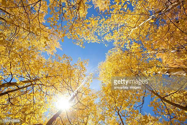 autumn aspen sunshine