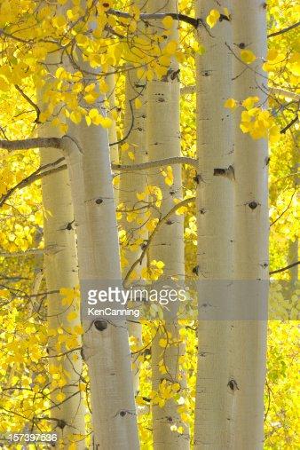 秋のアスペンの木