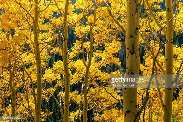 Autumn aspen trees, Wasatch Cache National Forest, Utah, USA