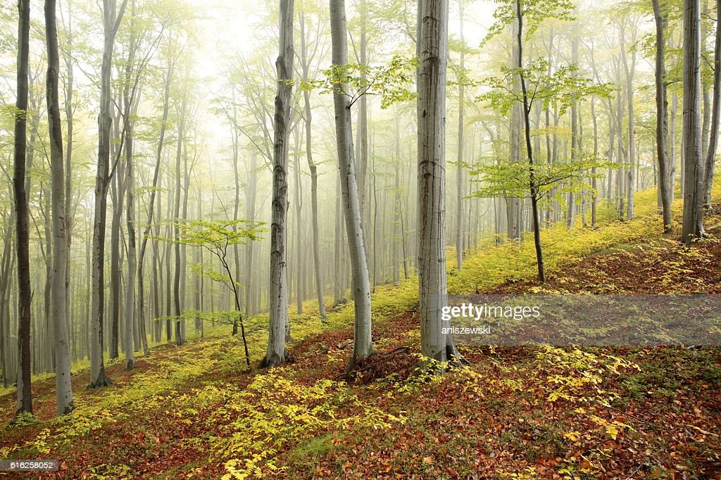 Bosque de otoño beech : Foto de stock