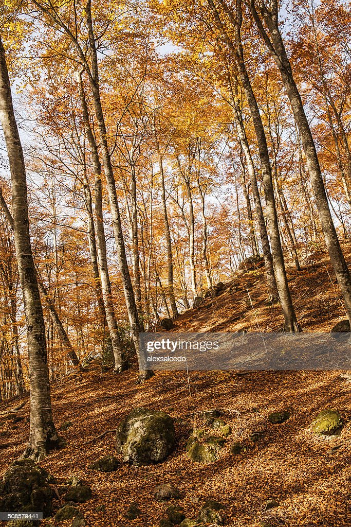 Autumn beech : Stock Photo