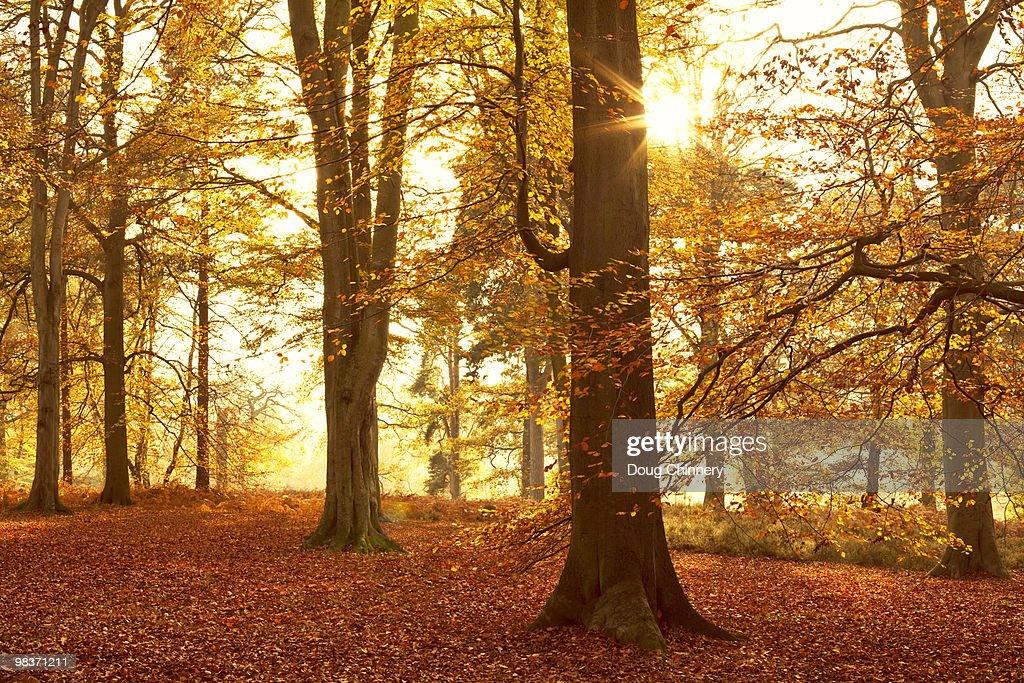 Autumn Beechwoods : Stock Photo