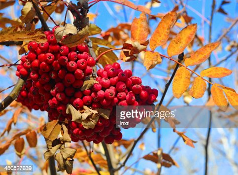 autumn berries on a background of blue sky : Stock Photo