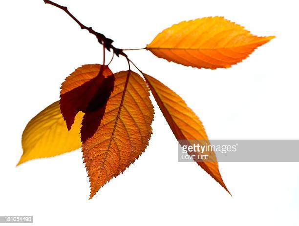 Autumn Branch and Leaves