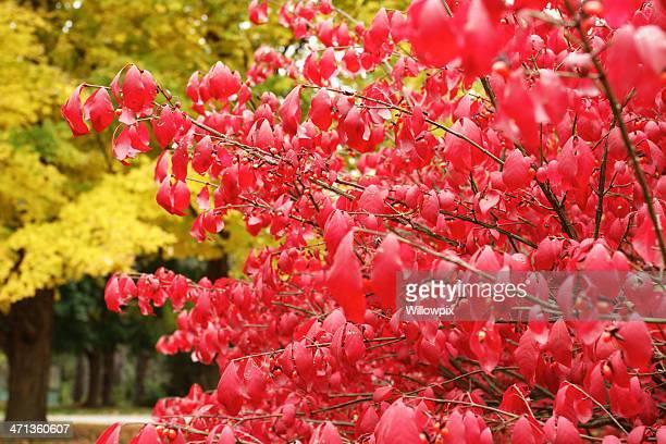 Autumn Burning Bush