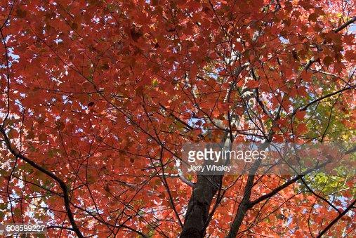 Autumn Color, Canaan Valley, WV : Foto de stock