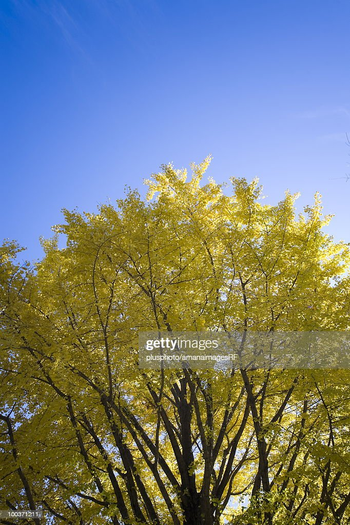 Autumn Colored Gingko Tree