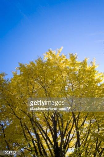Autumn Colored Gingko Tree