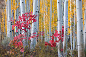 Autumn colors in the Wasatch Mountains forests. Aspen trees with slender trunks and white bark.