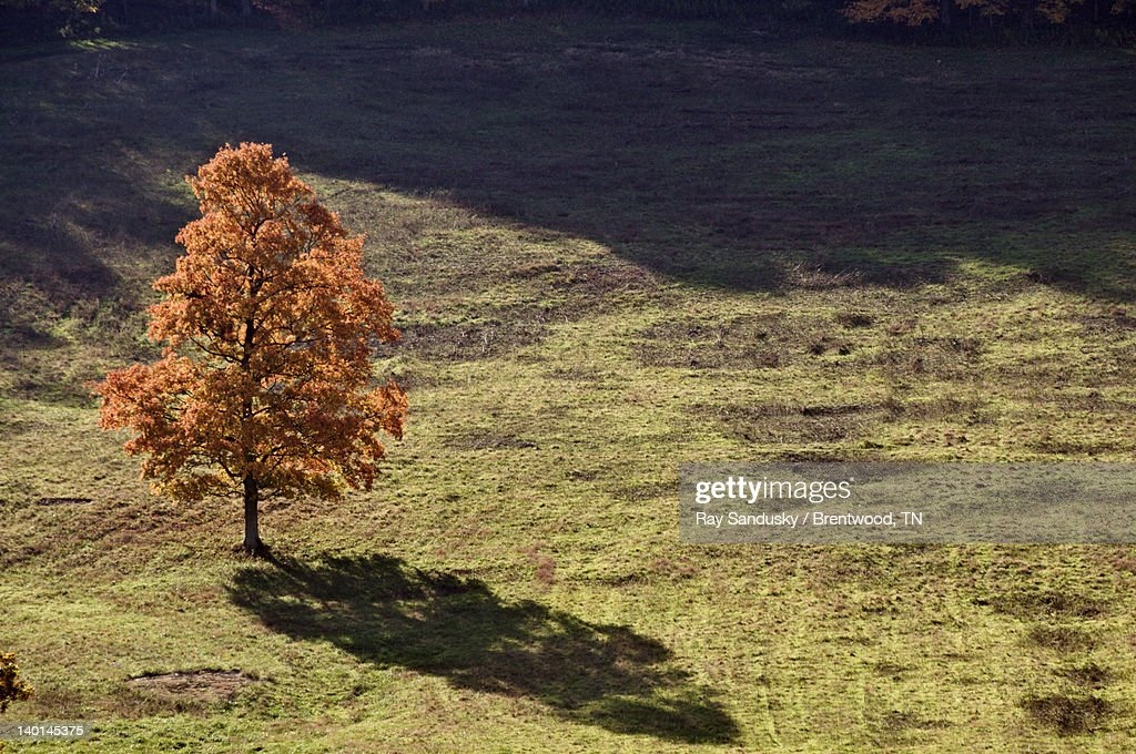 Autumn colors on lone tree in field