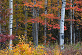 Autumn Colors, Quaking Aspen and Red Maple