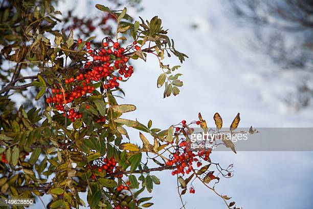Autumn colours and Rowan berries after a snowfall