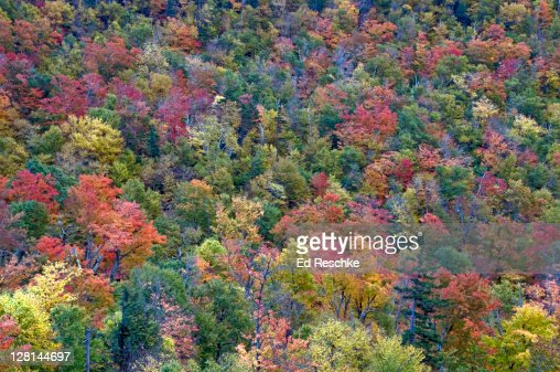 Autumn Colours in Eastern Deciduous Forest, White Mountains National Forest, New Hampshire, USA