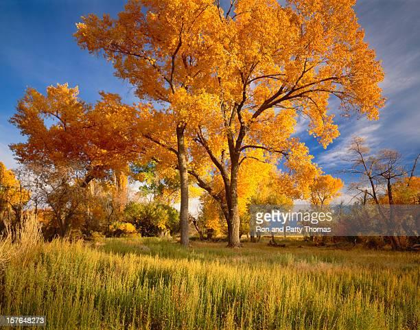 Autumn Cottonwood Trees