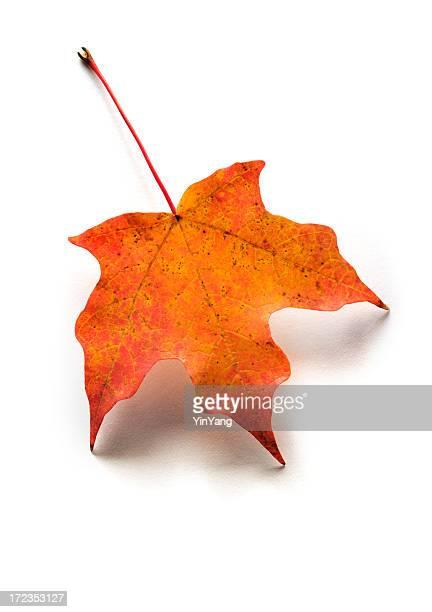 Autumn 、秋のレッドのメープルリーフ白背景