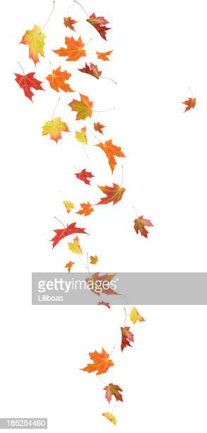 Autumn Falling Maple Leaves