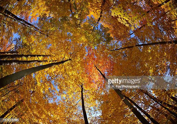 Autumn Foliage of  Sugar Maple Trees