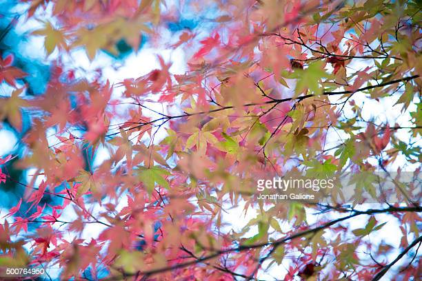 Autumn foliage on a Japanese Maple tree