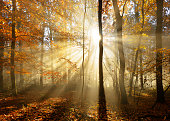 Deciduous Forest of Beech Trees with Leafs Changing Colour Illuminated by Sunbeams through Fog