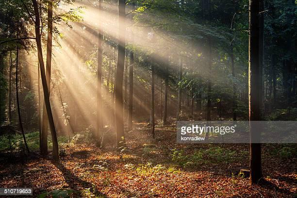 Herbstliche Wald am Morgen Sun Rays XXXL Bild