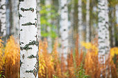 Birch tree (Betula pendula) trunk against forest background.