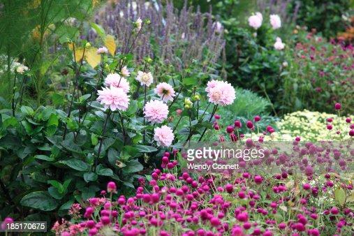 Autumn garden with pink mums