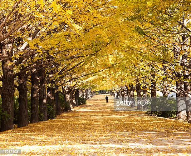 Autumn Ginkgo Trees
