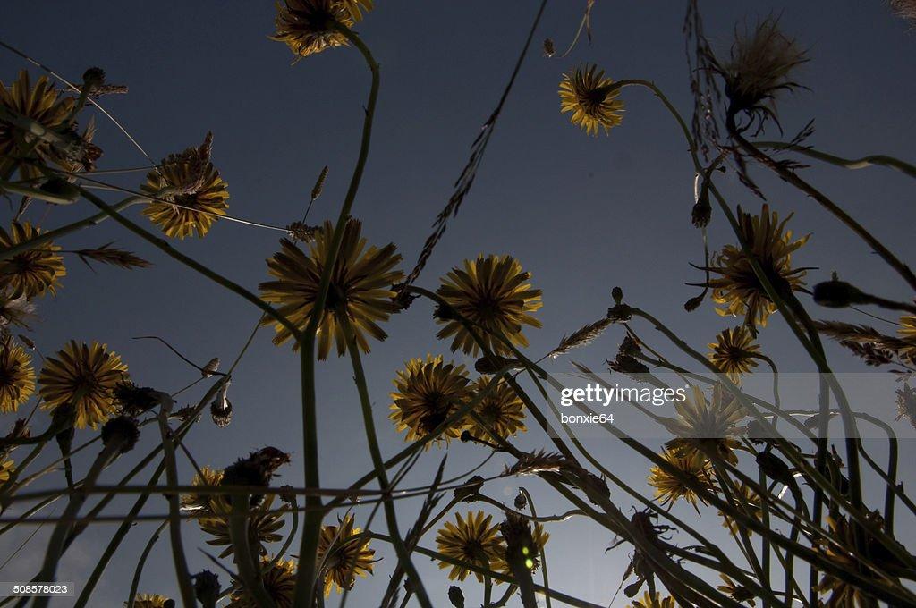 autumn hawkbit : Stock Photo